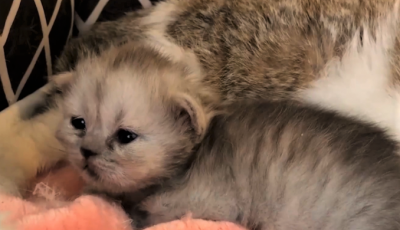 Китайские ученые создали второго в мире клонированного котенка