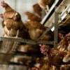 На Киевщине зафиксирована вспышка птичьего гриппа